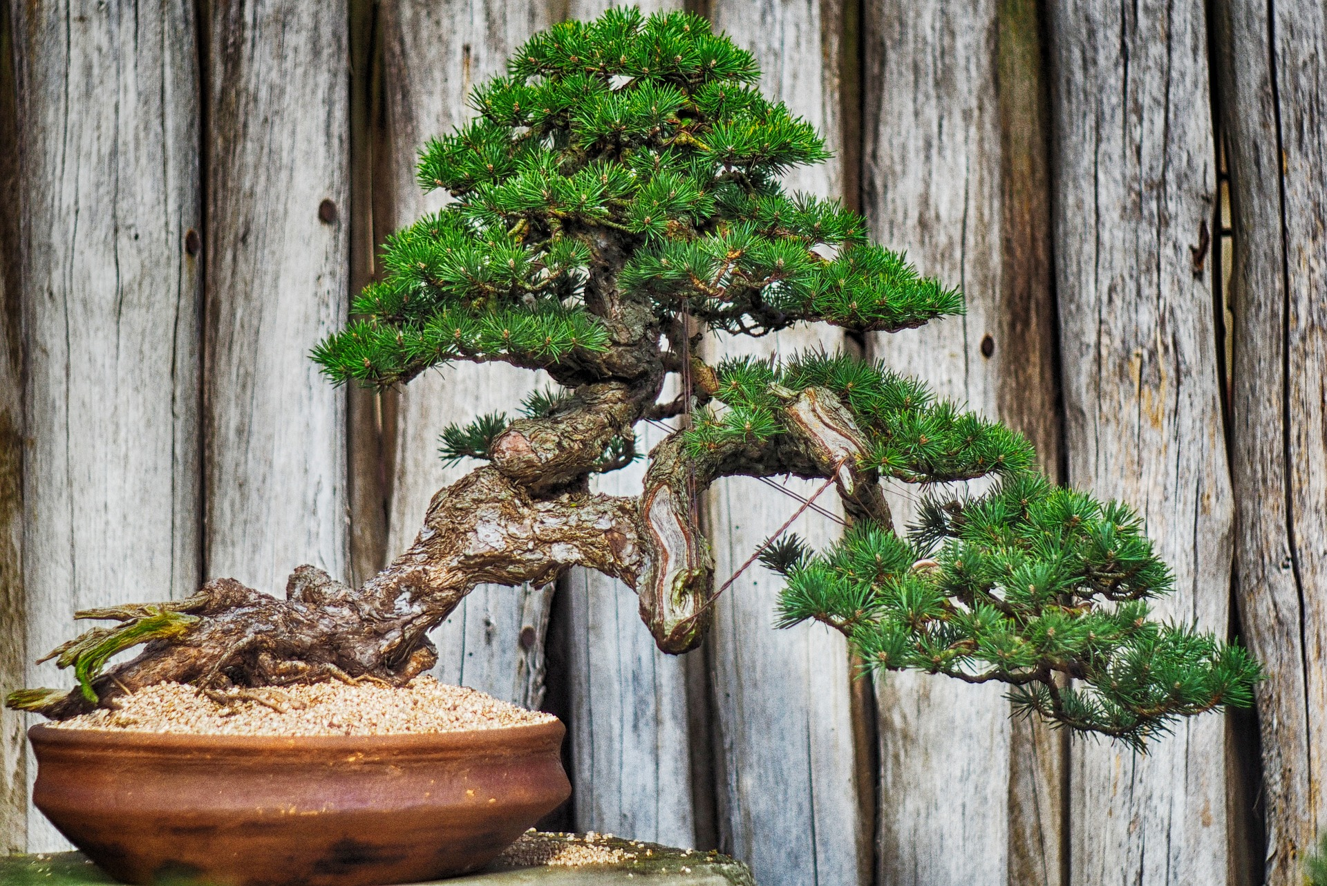 centrum bonsai